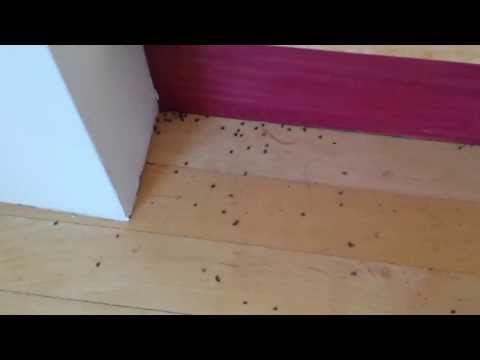 Carpet beetles