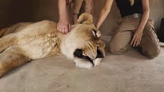 Amy's Big Op Part 2 | The Lion Whisperer