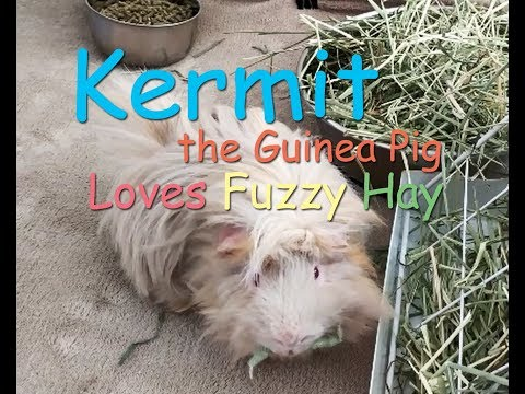 Kermit the Guinea Pig Loves Fuzzy Hay
