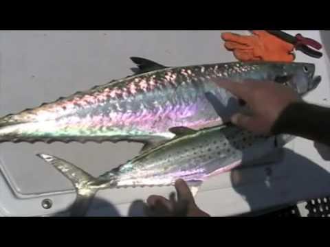 king mackerel tips