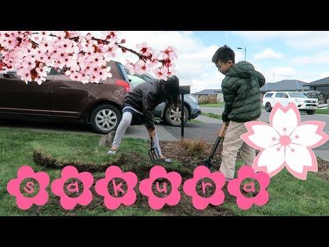 Planting Cherry Blossom in Spring - Sept 16, 2017
