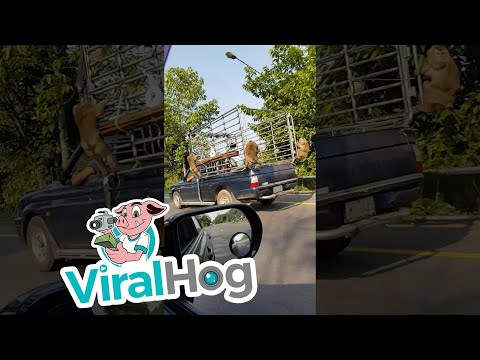 Monkeys Hitch a Ride || ViralHog