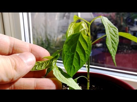 TOPPING chili plants - Growing hot chili peppers indoor