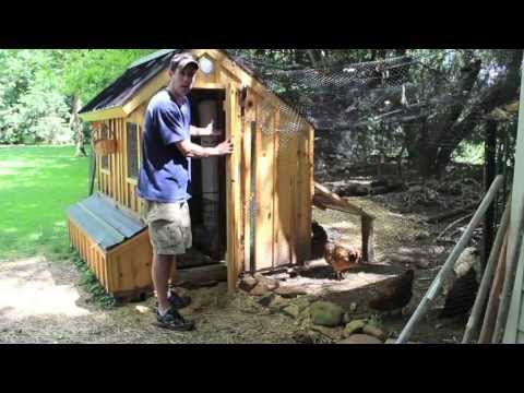 Assimilating new chickens into your flock How to introduce assimilate Pullets with your old birds