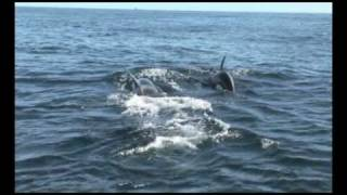 """orca vs dolphin from:""""killer whales""""-discovery"""