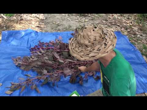 How to Grow Harvest and Process Amaranth Seeds & Farm update!