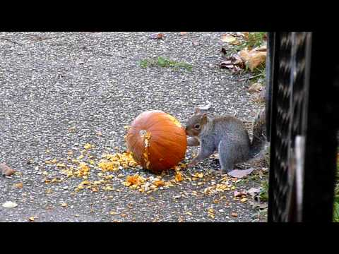 Two Squirrels Stealing And Eating A Pumpkin In Front Of My House On 11-13-2010