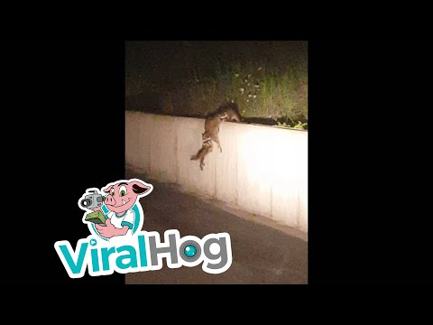 Beautiful teamwork by a raccoon mother and her babies || ViralHog