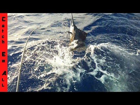SHARKS ATTACK MY GIANT SAILFISH
