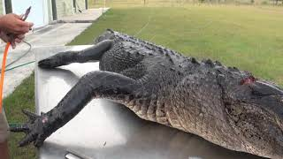 how to skin, de-bone and flesh out an alligator