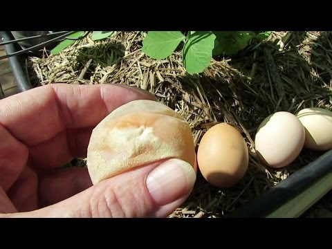 Soft shell egg from the chickens..