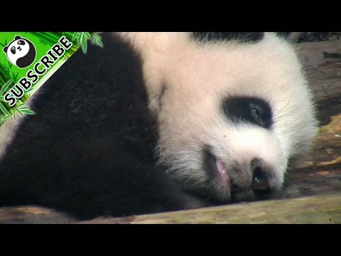 A sleepy panda and its rolling eyes!