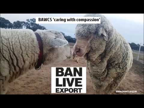 BAWCS Support a ban on live export