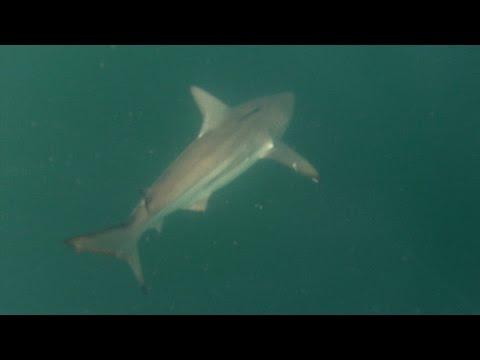 Huge Sharks at PINS