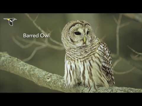 The Distinctive Calls of Owls: A Sampler