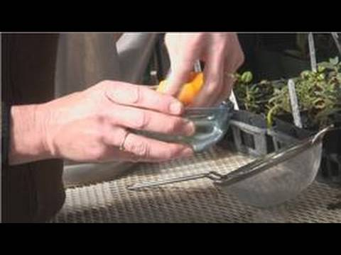 Planting From Seeds : How to Save Tomato Seeds