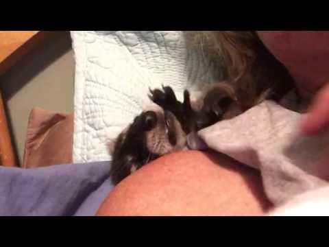 Baby raccoon plays with human Mom's hair