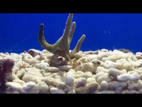Staghorn hermit crab ACC