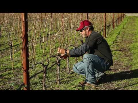 Cane Pruning - Spanish