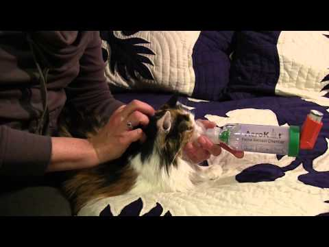feline asthma - treatment with Aerokat inhaler