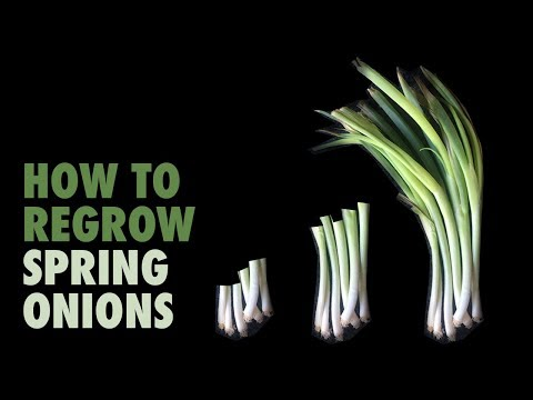 How to regrow Spring Onions (in water)