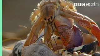 Amazing Crabs Shell Exchange - Life Story - BBC
