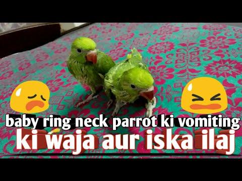 Baby ring neck parrot ki vomiting ki vaja aur uska ilaj