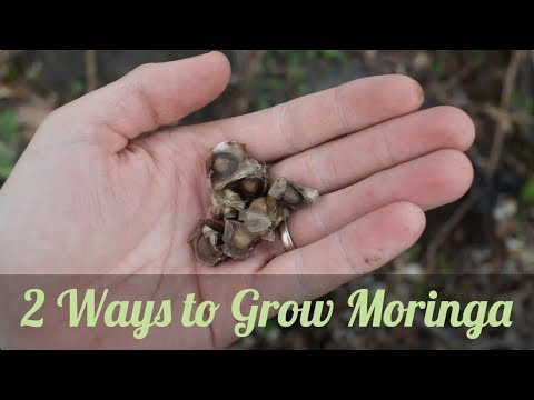Propagating Moringa from Cuttings and Seeds