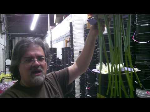 Special  Cut Flower Gerbera Video