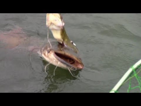 Flathead catch on a live bullhead, 2-hook rig - Susquehanna
