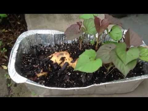 How to Grow Sweet Potato Slips from Soil or Water