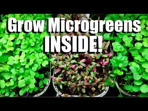 How to Grow Microgreens INSIDE! // Indoor Garden #1