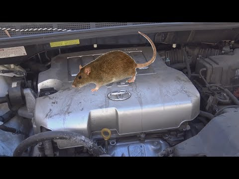 How to get rid of rat infestation: in car Engine bay