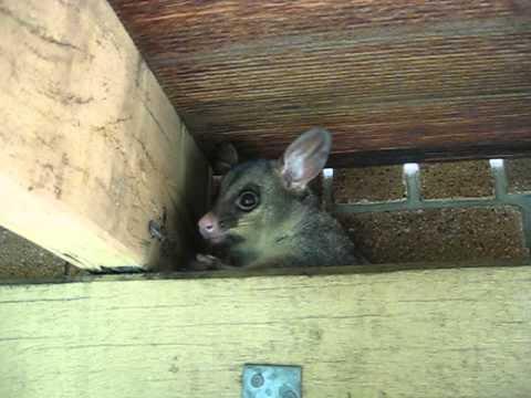 The possum under the deck 1