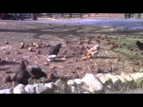 Feb 1, 2012 chickens eating hedgeapples