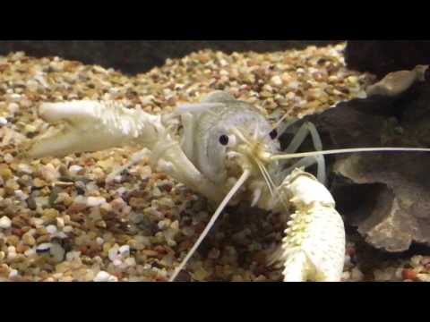Cray fish cleaning(?) scratching his eyeball