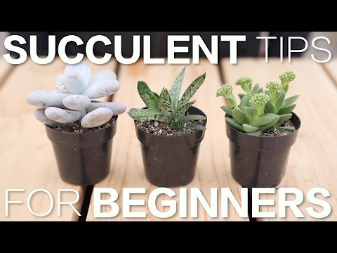 Succulent Tips for Beginners // Garden Answer