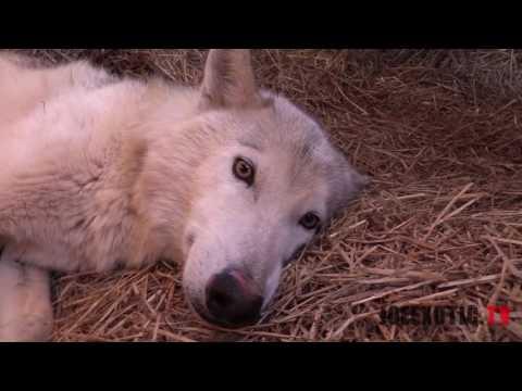 New Litter Of Wolf Pups