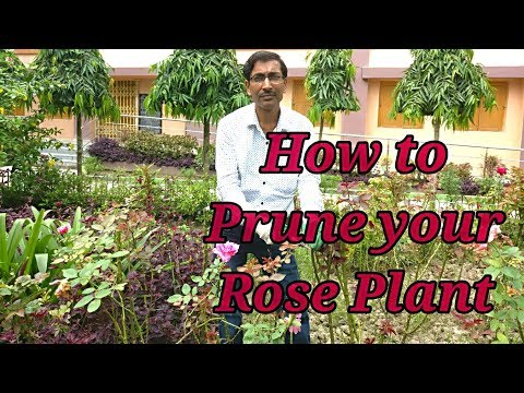 How to Prune   Rose Plants to get Maximum Bloom .