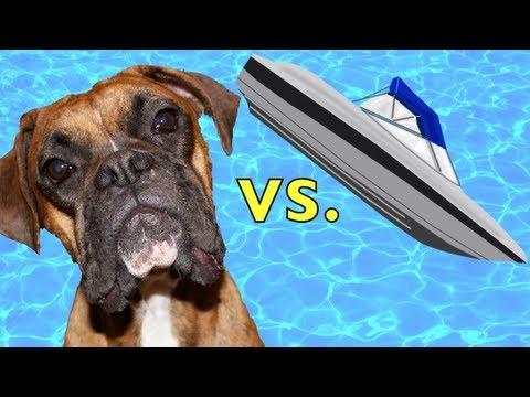 Swimming Boxer ATTACKS RC BOAT!! (Brock the Boxer Dog)