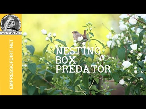 Predator! Starling tries to get into wren nesting box