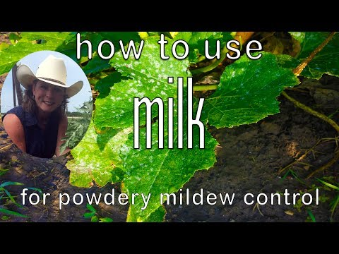 How to use Milk to Control Powdery Mildew ~ Get Rid of Powdery Mildew
