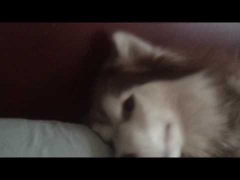 Husky with head tremors
