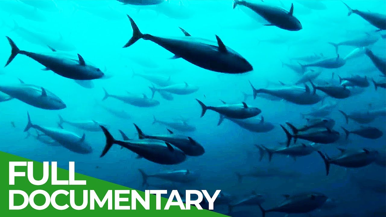 Track of the Tuna | Free Documentary Nature