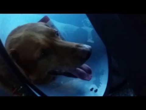 Evie  Fox  Red  Labrador dislikes  wearing  cone