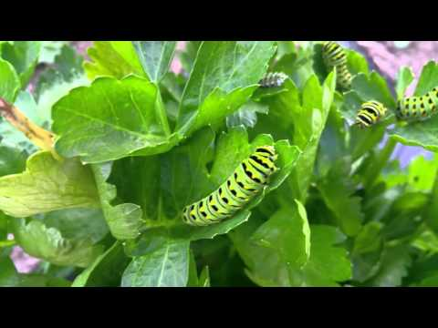 Monarch Caterpillars on Celery Plant