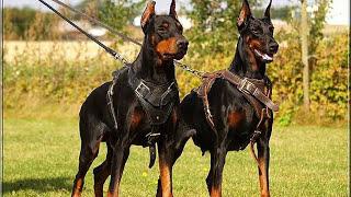 Pelea de perros Doberman Mascota o Asesino