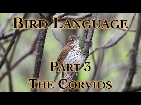 Bird Language Part 3 The Corvids