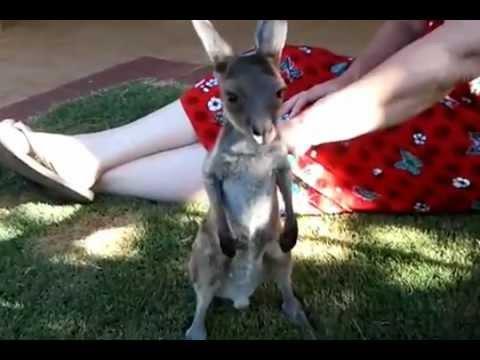Cutest Baby Kangaroo Ever!