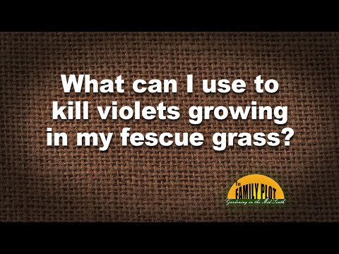 Q&A - Violets growing in my fescue grass